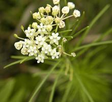 Photo for species Asclepias_verticillata