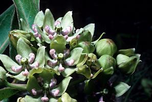 Photo for species Asclepias_viridis