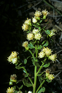 Photo for species Baccharis_pilularis