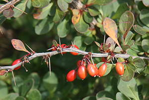 Photo for species Berberis_thunbergii