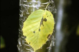 Photo for species Betula_alleghaniensis