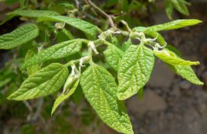 Photo for species Celtis_reticulata