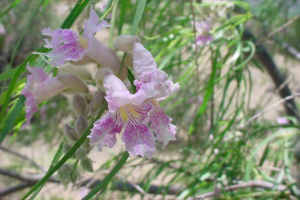 Photo for species Chilopsis_linearis