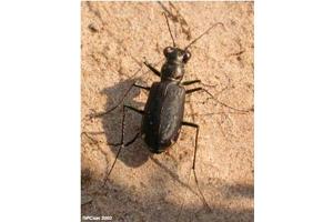 Photo for species Cicindela_punctulata