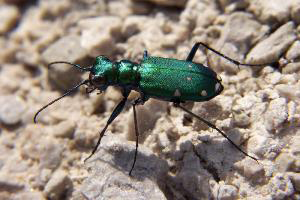 Photo for species Cicindela_sexguttata