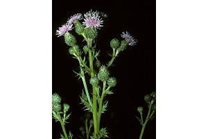 Photo for species Cirsium_arvense