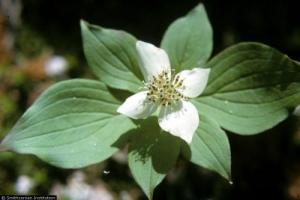 Photo for species Cornus_canadensis