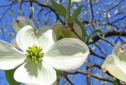 Photo for species Cornus_florida-appalachianspring