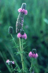 Photo for species Dalea_purpurea