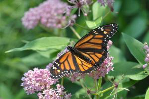 Photo for species Danaus_plexippus