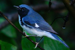 Photo for species Dendroica_caerulescens