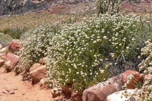 Photo for species Eriogonum_fasciculatum