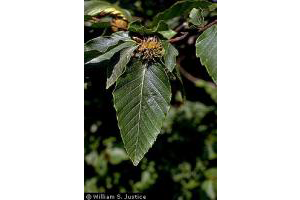 Photo for species Fagus_grandifolia