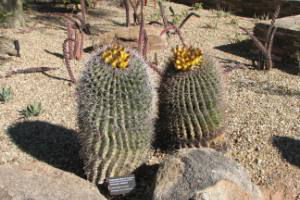 Photo for species Ferocactus_wislizeni