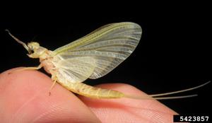 Photo for species Hexagenia_limbata