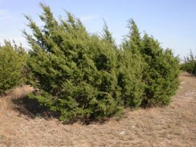 Photo for species Juniperus_ashei