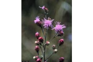 Photo for species Liatris_aspera
