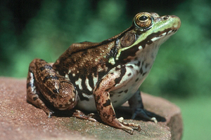 Photo for species Lithobates_clamitans