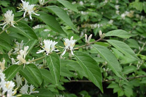 Photo for species Lonicera_maackii