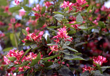 Photo for species Lonicera_tatarica-arnoldred