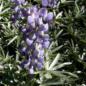 Photo for species Lupinus_obtusilobus