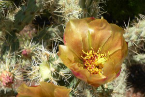 Photo for species Opuntia_acanthocarpa