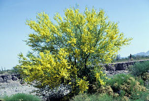 Photo for species Parkinsonia_florida