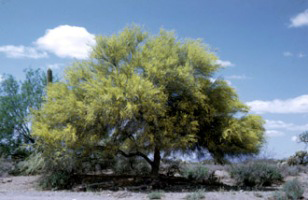 Photo for species Parkinsonia_microphylla