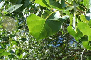 Photo for species Populus_fremontii