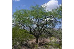 Photo for species Prosopis_velutina