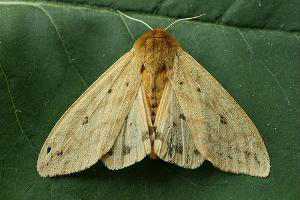Photo for species Pyrrharctia_isabella