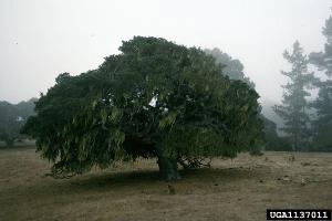 Photo for species Quercus_agrifolia