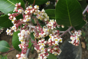 Photo for species Rhus_integrifolia