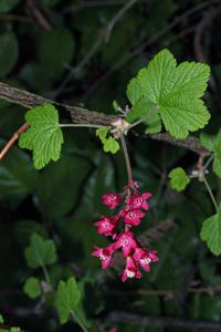 Photo for species Ribes_sanguineum