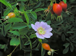 Photo for species Rosa_californica