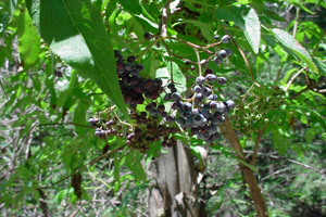 Photo for species Sambucus_nigra-cerulea