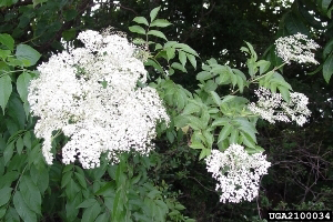Photo for species Sambucus_nigra