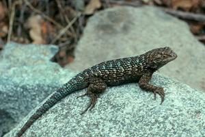 Photo for species Sceloporus_occidentalis