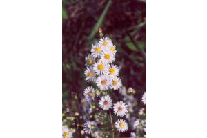 Photo for species Symphyotrichum_ericoides