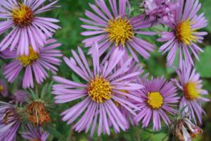 Photo for species Symphyotrichum_novae-angliae