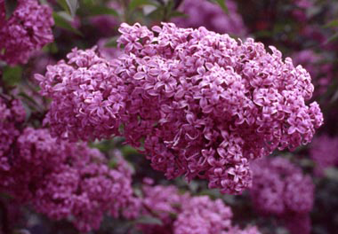 Photo for species Syringa_chinensis