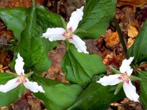 Photo for species Trillium_undulatum