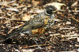 Photo for species Turdus_migratorius