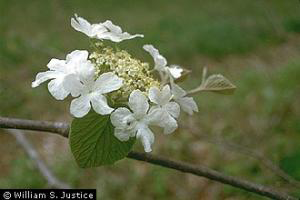 Photo for species Viburnum_lantanoides