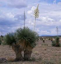 Photo for species Yucca_elata