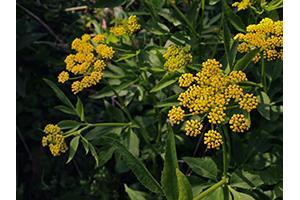 Photo for species Zizia_aurea