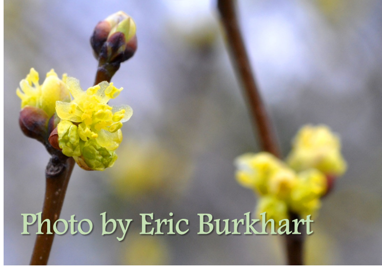 spicebush_breaking leaf buds and flowering